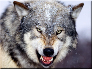 Wolf_Snarl